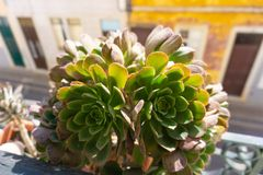 Faro Portugal succulent plant close up stock photo