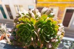 Faro Portugalia tłustoszowata roślina zamknięta w górę zdjęcie stock