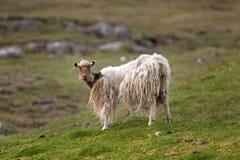 Faroe Island, carneiro, Faroe Island Fotografia de Stock