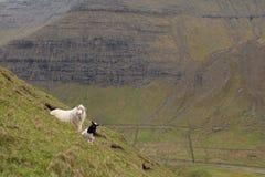 Sheep, Faroe island Royalty Free Stock Image