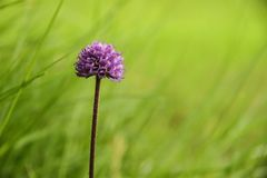 Purple flower in green field. Faroe Islands. Narrow depth of field Royalty Free Stock Photos