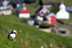 Faroe Islands, puffin at Mykines Stock Images