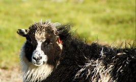 Faroe Islands, sheep close up. Sheep close up on Eysturoy Island on the road to Gjogv in the Faroe royalty free stock photo