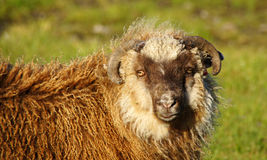 Faroe Islands, sheep close up. Sheep close up on Eysturoy Island on the road to Gjogv in the Faroe stock photography