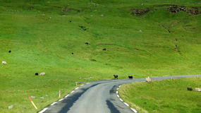 Faroe Islands, sheep crossing the road Stock Photos