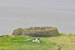 Faroese ewe sheep with cute little lamb laying on a green field. royalty free stock image
