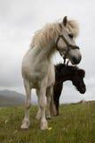 Faroese hästar Fotografering för Bildbyråer