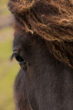 Faroese Horse. Stremoy - Faroe Islands Stock Photo