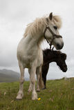 Faroese Horses. Vagar - Faroe Islands Stock Image