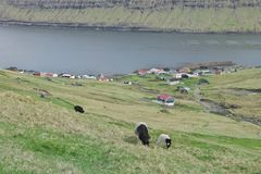 Faroese landscape with Cute little lambs and sheep. Horizontal scenery image of Faroese landscape with beautiful mountains with Cute little lambs and sheep in royalty free stock images