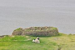 Faroese leuke ooischapen met weinig lam die op een groen gebied leggen royalty-vrije stock afbeelding