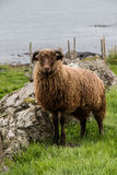 Faroese Sheep. Sheep in a field - Torshavn - Faroe Islands Royalty Free Stock Photos