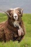 Faroese Sheep Royalty Free Stock Photography