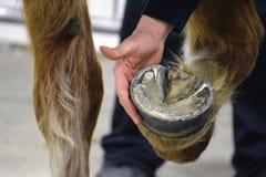 Farrier проверяя копыто лошади стоковые фотографии rf