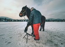 Farrier assistant keeps brown horse with front leg on steel tripod stock images