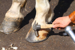 Farrier with horse hoofs. A Farrier with nail and hammer Stock Image