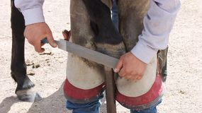 Farrier work: Filing a horse hoof. Royalty Free Stock Photo