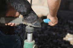 A farrier trims a barefoot horse. Stock Photography