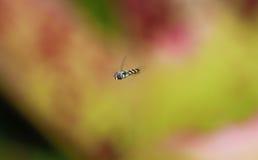 Fartfyllda Hoverfly Arkivbilder