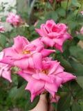 Fartfyllda infödda rosor Arkivbild