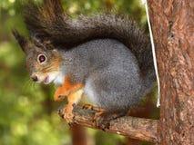 fartuch forestsquirrel zdjęcie royalty free