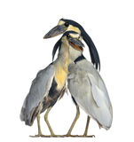 Fartyg-fakturerad Heron; Boatbill - Cochleariuscochlearius Royaltyfria Foton