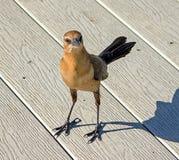 Fartyg-tailed Grackle famele Arkivfoton
