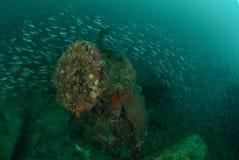 Fartyghaveriet som skolar fiskar i Ambon, Maluku, Indonesien det undervattens- fotoet Arkivbild