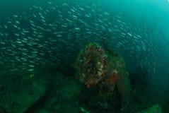 Fartyghaveriet som skolar fiskar i Ambon, Maluku, Indonesien det undervattens- fotoet Arkivfoto