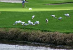 farwateru ibis Obrazy Royalty Free
