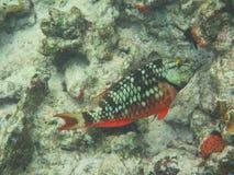 Fas för initial för strålkastareparrotfishSparisoma viride royaltyfri foto