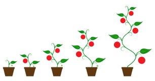 Fas för tillväxt för Tomatoe fruktväxt vektor illustrationer