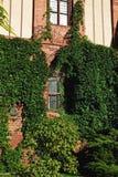 Fasad av byggnader för röd tegelsten, murgröna Royaltyfri Foto