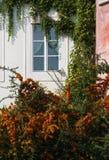 Fasaden av det gamla huset med överflödande grönska ett fönster Fotografering för Bildbyråer