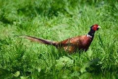Fasan, der durch Gras schlendert Stockfotografie