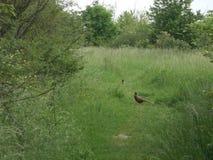 Fasan ist ein Waldprinz im Park von Wien stockfotografie