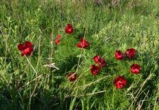 Fasan ` s Auge Adonis-cretica/-microcarpa in der Blume, rote Form, können Lizenzfreies Stockbild