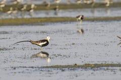 Fasan-tailed Jacana Arkivfoto