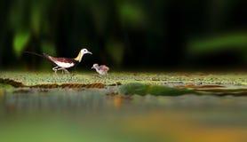 Fasan-tailed Jacana Royaltyfria Foton