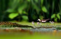Fasan-tailed Jacana Royaltyfri Bild