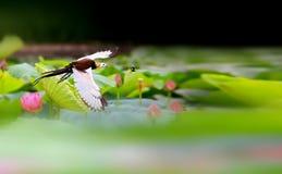 Fasan-tailed Jacana Royaltyfri Foto