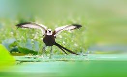 Fasan-tailed Jacana Arkivfoton