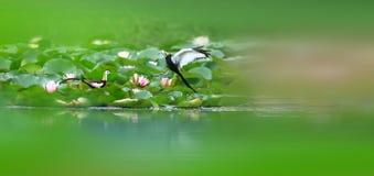 Fasan-tailed Jacana Royaltyfri Fotografi