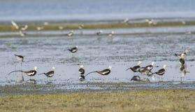 Fasan-tailed Jacana flock Royaltyfria Foton