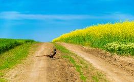 Fasanen på en graveled väg på våren med grön bakgrund och våldtar repet och blå himmel royaltyfri fotografi