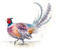 Fasanvattenfärgfågel royaltyfri illustrationer