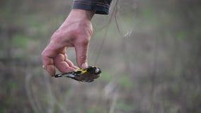 Fascia dell'uccello Carduelis del carduelis del cardellino stock footage