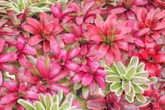 Fasciata colorido de la bromelia de las flores rojo ornamental y verde o del aechmea que florece en la pared para el fondo imagenes de archivo