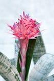 Fasciata d'Aechmea (ananas de Bromeliaceae) Photographie stock libre de droits