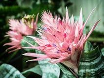 Fasciata d'Aechmea, usine fleurissante rose Image libre de droits